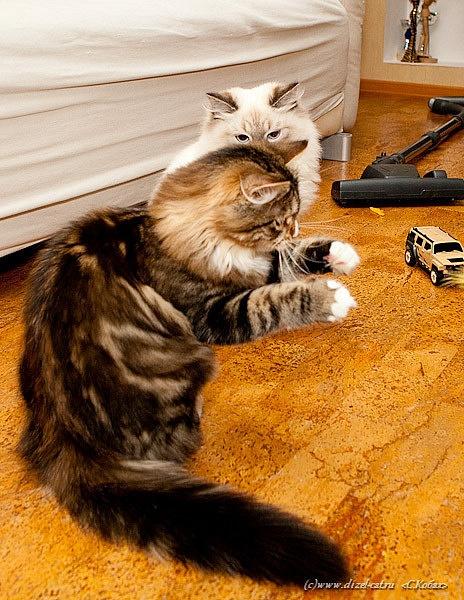кот танцует