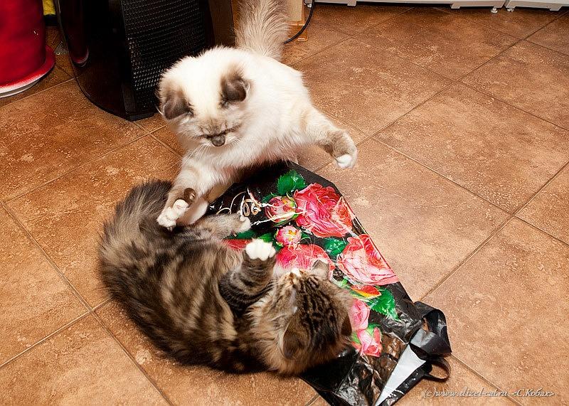Коты знакомятся