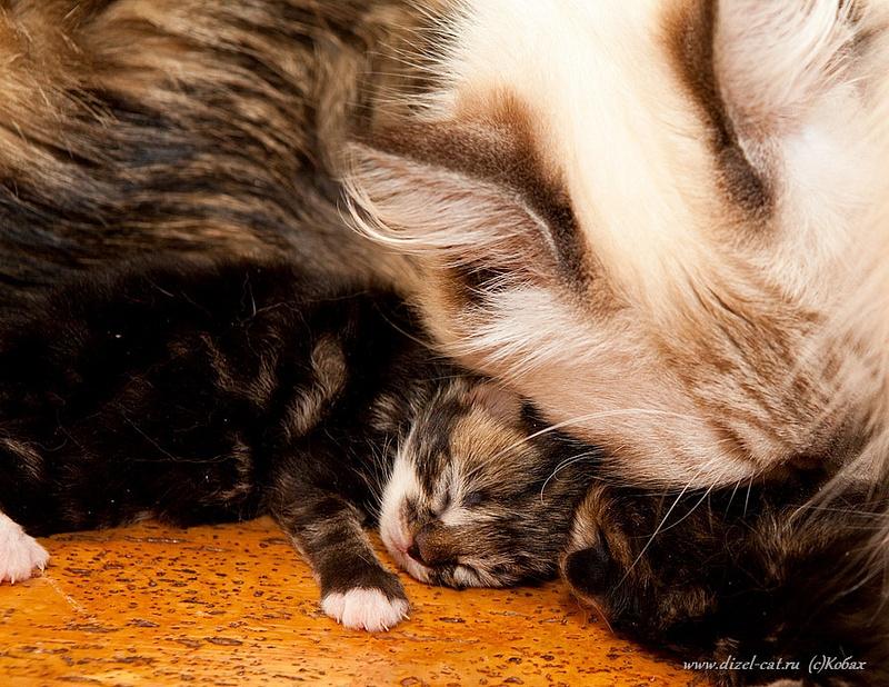 котята сибирских кошек