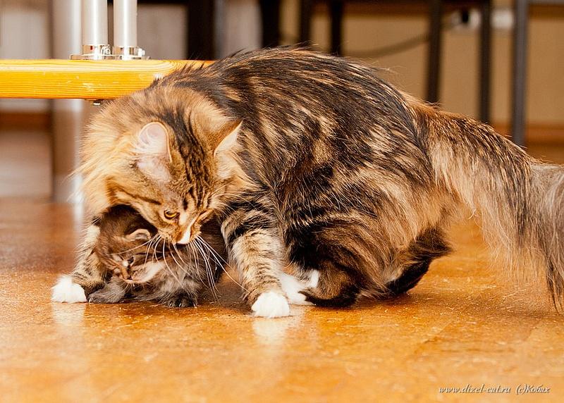 котята сибирский кошки