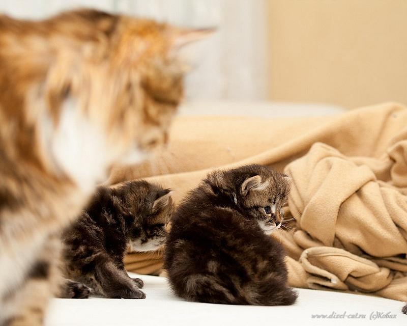 котята вибирской кошки