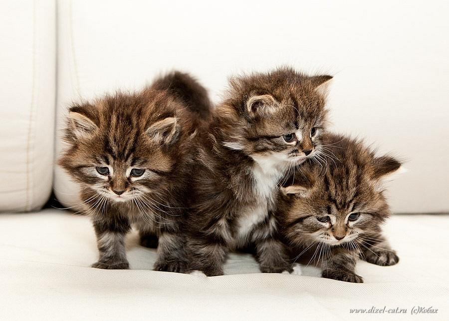котята сибирской кошки