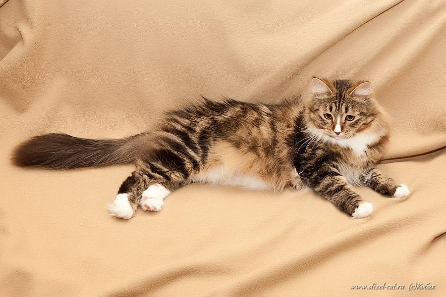 сибирския кошка