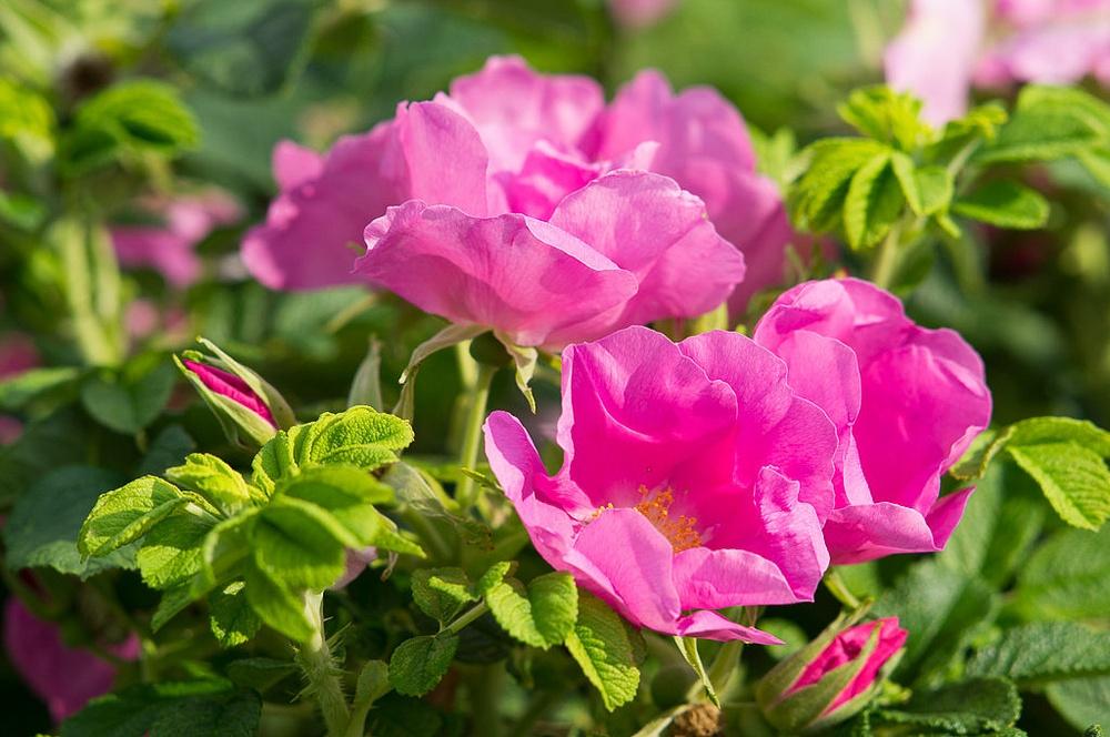 Шиповник в цвету